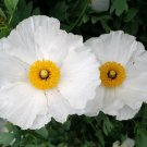 Bulk White Tree Poppy Matilija Fried Egg Romneya coulteri - 200 Seeds