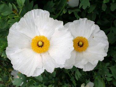 Bulk White Tree Poppy Matilija Fried Egg Romneya coulteri - 100 Seeds