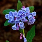 Virginia Bluebells Roanoke Bells Mertensia virginica - 50 Seeds