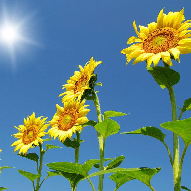 Organic Giant 'Skyscraper' Sunflower Helianthus annuus - 25 Seeds