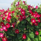 'Scarlett O'Hara' Japanese Morning Glory Ipomoea nil - 20 Seeds