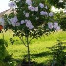 Pink Morning Glory Tree Bush (not vine) Ipomoea carnea - 6 Seeds