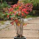 Bonsai Chinese Tallow Tree Triadica sebifera - 20 Seeds