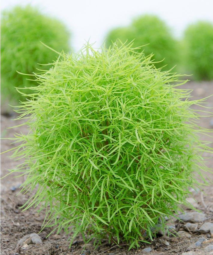 Color Changing Firebush Bassia Kochia scoparia - 100 Seeds