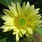 Lime Colored Sunflower Jade Helianthus Annuus- 15 Seeds