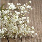Baby's Breath Gypsophila elegans - 250 Seeds