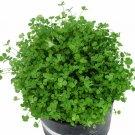 Fairy Garden Miniature Clover Trifolium repens - 200 Seeds