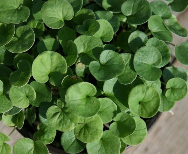 Fairy Garden Emerald Green Carpet Dichondra Repens - 200 Seeds