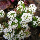 Fairy Garden 'Sweet Alice' Carpet Flower Lobularia maritima - 200 Seeds