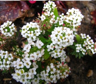 Fairy Garden 'Sweet Alice' Carpet Flower Lobularia maritima - 200 Seeds