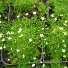 Heath Pearlwort Irish Moss Sagina Subulata - 150 Seeds
