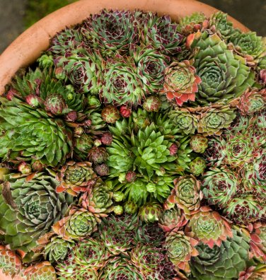 Fairy Garden Mixed Cactus Hen and Chick's Succulents Sempervivum - 50 Seeds