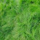 Fairy Garden Fairy Grass Fine Feathery Fescue Grass - 500 Seed