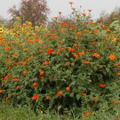 Red Mexican Bush Sunflower Tithonia rotundiflora - 100 Seeds