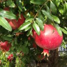 Pomegranate Punica granatum - 50 Seeds