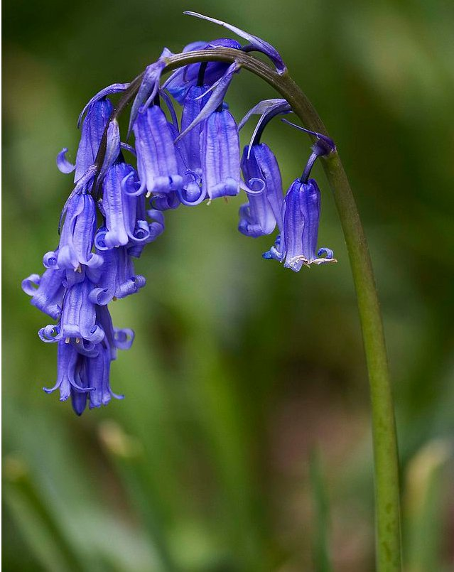 Fairy Garden True Wild English Woodland Bluebell Hyacinthoides Scilla Non-Scripta - 25 Seeds