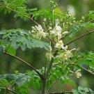 Drumstick Tree of Life Malunggay Moringa Oleifera - 20 Seeds