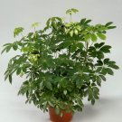 Bulk Dwarf Hawaiian Umbrella Tree Schefflera arboricola - 100 Seeds