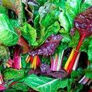 Organic Heirloom Leaf Beet Swiss Chard Rainbow Beta vulgaris - 200 Seeds