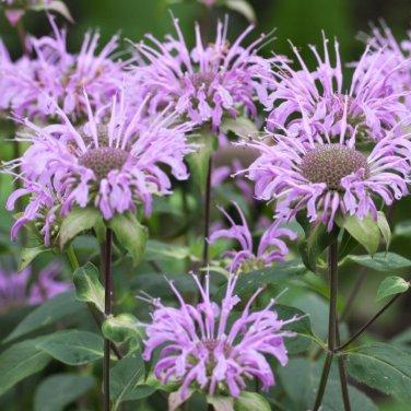 Pink Bergamont Bee Balm Seeds 100 Fresh Picked 2020