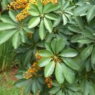 Bulk Exotic Hawaiian Umbrella Tree Dwarf Schefflera arboricola - 100 Seeds