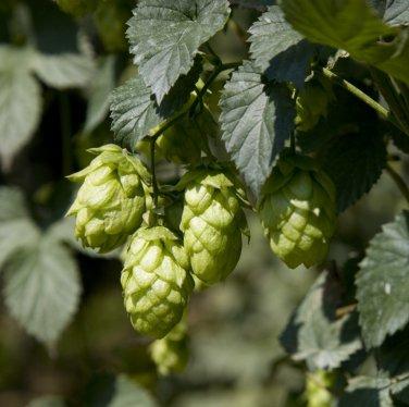 Organic Heirloom Beer Hops Humulus lupulus - 20 Seeds