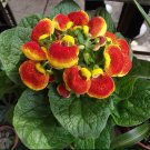 Pouch Slipper Flower Calceolaria herbeohybrida - 50 Seeds