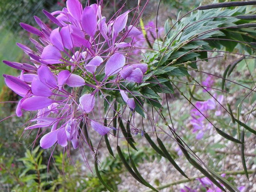 Sale! Exotic Spider Flower Mix Cleome hassleriana 2 for 1 - 100 Seeds