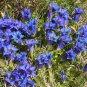 Blue True Alpen Enzian Gentian Gentiana acaulis - 40 Seeds