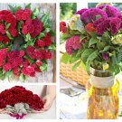 Cockscomb Mix Tall Celosia argentea Cristata - 50 Seeds