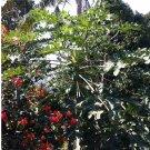 Mamão Wild Papaya Fruit Carica papaya - 25 Seeds