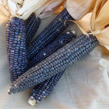 Heirloom Native Hopi Blue Indian Corn Zea mays - 30 Seeds