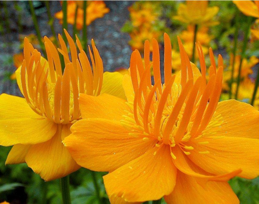Rare Troll Flower Chinese Globeflower 'Golden Queen' Trollius chinensis - 25 Seeds