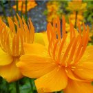 Rare Troll Flower Chinese Globeflower 'Golden Queen' Trollius chinensis - 25 Seeds