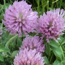 Edible Flowers Wild Red Clover Trifolium pratense - 500 Seeds