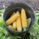 Organic Open Pollinated Sweet Yellow Corn 'Golden Bantam' Zea mays - 30 Seeds