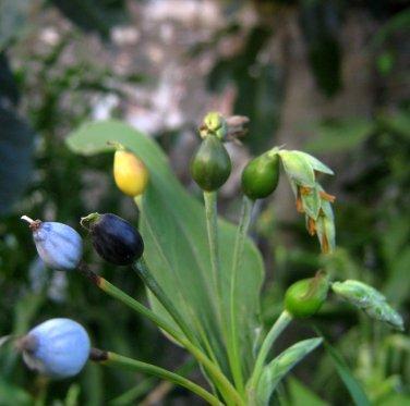 Rare Pearl Grass Job's Tears Coix lacryma-jobi - 18 Seeds