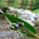 Rare Job's Tears Pearl Barley Coix lacryma-jobi - 18 Seeds