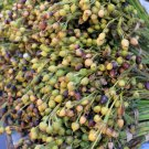 Rare Pearl Bead Job's Tears Coix lacryma-jobi - 25 Seeds