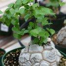 Caudex Elephant Foot Dioscorea Elephantipes Caudiciform Rare - 5 Seeds