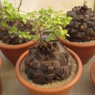 Rare Turtle Shell Testudinaria Dioscorea Elephantipes Caudiciform - 5 Seeds
