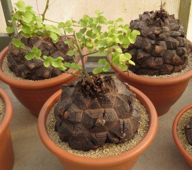 Rare Turtle Shell Testudinaria Dioscorea Elephantipes Caudiciform - 5 Seeds