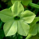 Chartreuse Stunning Lime Green Trumpets Nicotiana alata - 100 Seeds