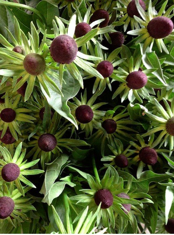 Unusual Rudbeckia 'Green Wizard' Rudbeckia Occidentalis - 20 Seeds