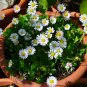 Fairy Garden White Mini Gänseblümchen Dwarf English Daisy Single Bellis perennis - 100 Seeds