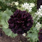 Black Peony Poppy Papaver Somniferum Paeoniflorum - 50 Seeds