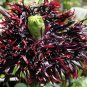 Black Swan Fringed Poppy Papaver Somniferum Laciniatum  - 50 Seeds
