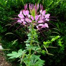 Amazing Spider Flower Cleome hassleriana - 100 Seeds