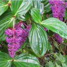 Rare Showy Melastome Chandelier Plant Medinilla cummingii - 25 Seeds
