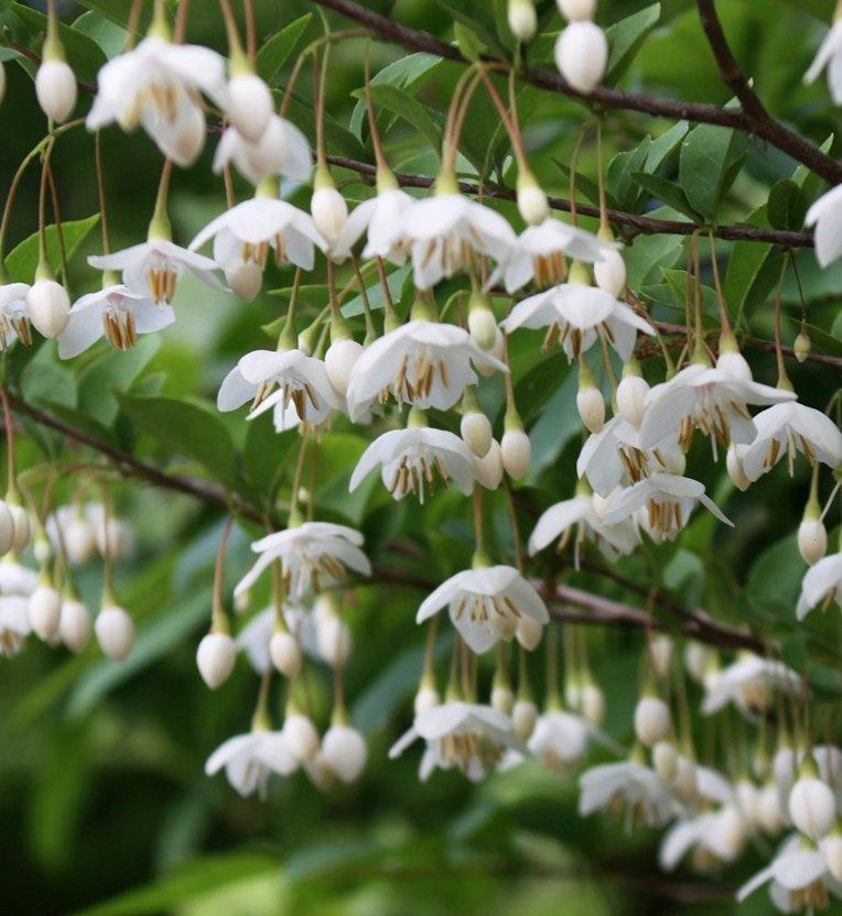 Bulk Hardy White Japanese Snowbell Styrax japonicus - 150 Seeds